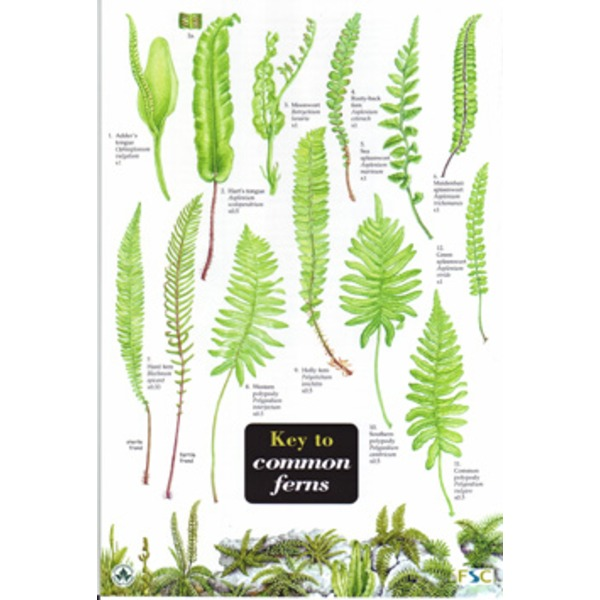 FSC Field Guide to Common Ferns