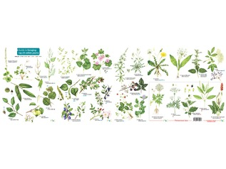 FSC Guide To Foraging The Top 25 Edible Plants