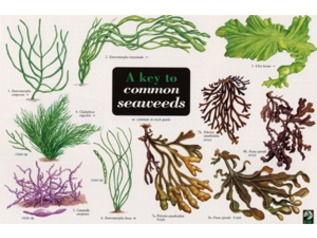 FSC Field Guide to Common Seaweeds