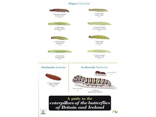 FSC Field Guide to Caterpillars of butterflies of Britain & Ireland