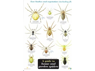 FSC Field Guide to House and Garden Spiders